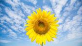 Sunflower against a blue sky. — Stock Photo