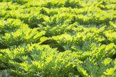 Green ornamental cabbage — Stock Photo