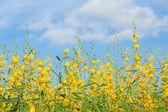 Yellow flower fields against blue sky — Stock Photo
