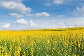 黄色花卉场蓝天的衬托 — 图库照片