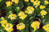 Yellow kalanchoe flower — Stock Photo