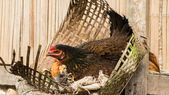 Hen with little chickens — Stock Photo