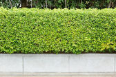 Green leaf wall — Stock Photo