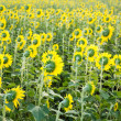 Backside of sunflower fields — Stock Photo