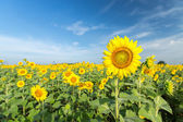 Sunflower fields against a blue sky. — Stock Photo