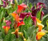 Calla lily field — Stock Photo
