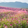 Pink cosmos flower fields with mountain background — Stock Photo