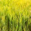 Green rice fields — Stock Photo
