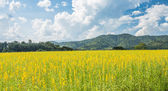 Yellow flower field with mountain background — Stock Photo