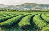 čajové plantáže s pozadím mountain — Stock fotografie
