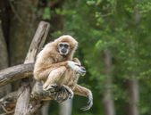 Gibbon in the jungle — Stock Photo