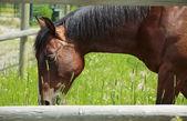 Cheval de pâturage — Photo