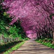 Cherry Blossom Pathway in ChiangMai, Thailand — Stock Photo
