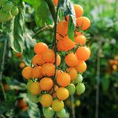 Close up of fresh orange tomatoes still on the plant — Stock Photo