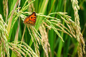 Green rice paddy with beautiful butterfly. — Stock Photo