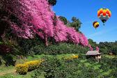 Hot air balloon and Sakura pink flower in Chiangmai Thailand — Stock Photo