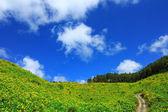 Campo amarillo girasol mexicano y un cielo azul con camino firmen en el fondo de la montaña en tailandia — Foto de Stock