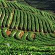 Stock Photo: Beautiful strawberrie field at Chiang mai Thailand