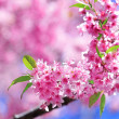 Cherry blossoms with green leaf — Stockfoto