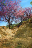 Sakura in Chiang Mai have thatch — Stock Photo