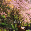 Horse in pink Cherry blossom — Stock Photo