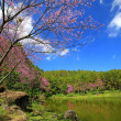 Stock Photo: Cherry blossom in springtime