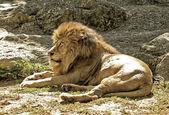 Altın aslan kral — Stok fotoğraf
