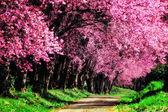 Cherry Blossom Pathway in ChiangMai, Thailand — Stock Photo