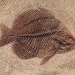 Stock Photo: Fish fossil