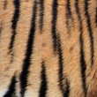 Real Tiger Texture  — Stock Photo