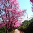 Stock Photo: Cherry Blossom Pathway in ChiangMai, Thailand