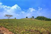 Campos de abacaxi — Foto Stock