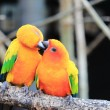 Colourful parrot bird kissing on the perch — Stock Photo