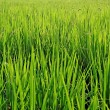 Close up rice fields with water drops — Stock Photo #28143257