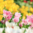 Beautiful spring tulips flower — Stock Photo