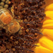 Honey bee closeup on sunflower — Stock Photo