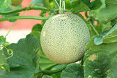 Close up of fresh cantaloupe still on the plant — Stock Photo