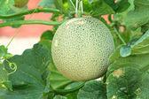 Close up of fresh cantaloupe still on the plant — Stock Photo