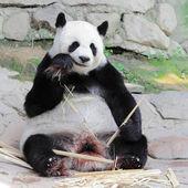 Giant panda eating bamboo — Foto de Stock
