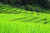 Green Terraced Rice Field in Chiangmai, Thailand — Stock Photo