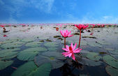 Lotus flower reflect in the water — Stock Photo