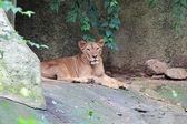 Beautiful portrait of a female lion — Stock Photo