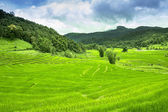 Green Terraced Rice Field in Chiang mai, Thailand — Stock Photo