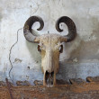 Buffalo skull on old wall — Stock Photo