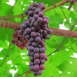 Grapes fresh on the tree — Stock Photo