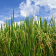 Green rice paddy — Stock Photo #28159589
