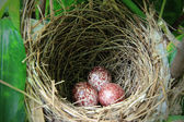 A nest filled with three bird eggs in the branches — Stock Photo