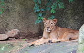 Krásný portrét samice lva — Stock fotografie