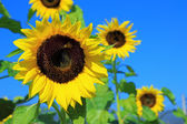 Krásné slunečnice v poli — Stock fotografie