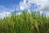 Green rice paddy — Foto Stock